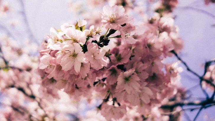 Top 5 Cherry Blossom Festivals