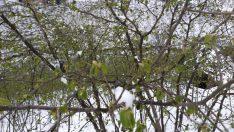 Nisan karı fındık ve kivi üreticilerini tedirgin etti