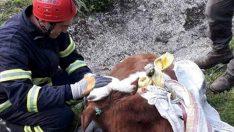 Ordu'da dere yatağına düşen ineği itfaiye kurtardı
