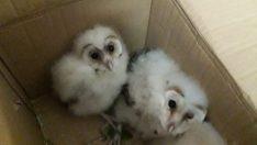 Çatıda mahsur kalan baykuş yavruları kurtarıldı