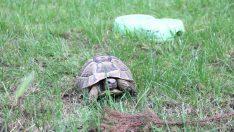 Öğrencilerin bulduğu kaplumbağa koruma altına alındı