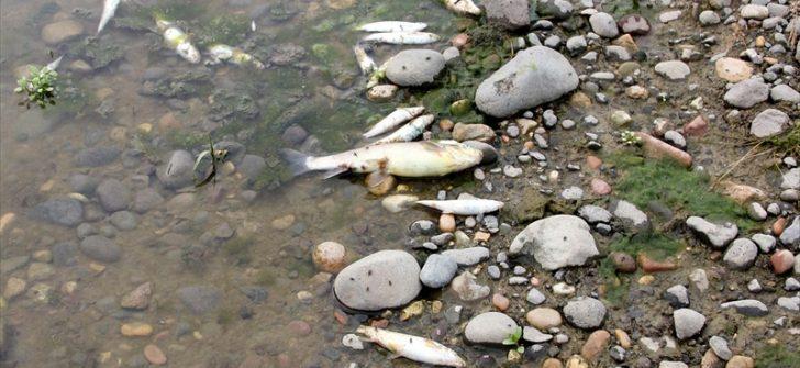 Ordu'da derede balık ölümleri