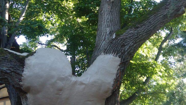 Ordu'daki Anıt Ağaçların Bakımı Yapılıyor