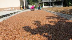 Yeni sezonda iç fındık ihracatının 300 bin tonu aşması bekleniyor
