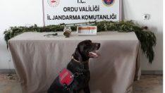 Ordu'da uyuşturucu operasyonu düzenlendi.