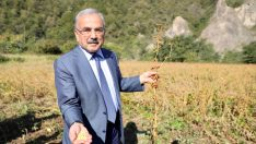 Ordu'da soya fasulyesinin üretimi yaygınlaştırılacak