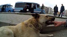 Ordu'da sokak Köpekleri 7 kişiyi Isırdı