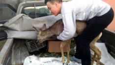 Ordu'da lise öğrencisinin köpeklerden kurtardığı karaca tedaviye alındı