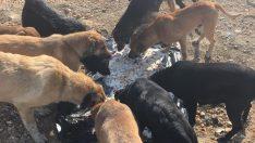 Ünye'de sokak hayvanları için besleme yapıldı